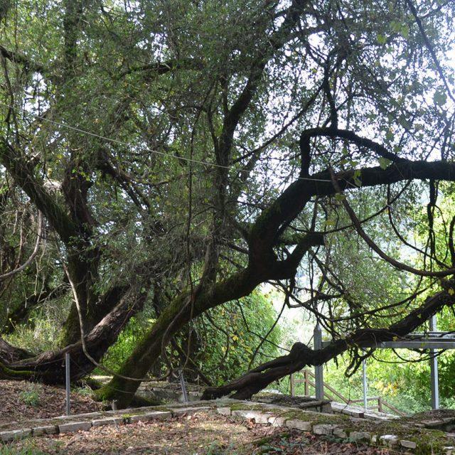 Vine Tree of Pausanias